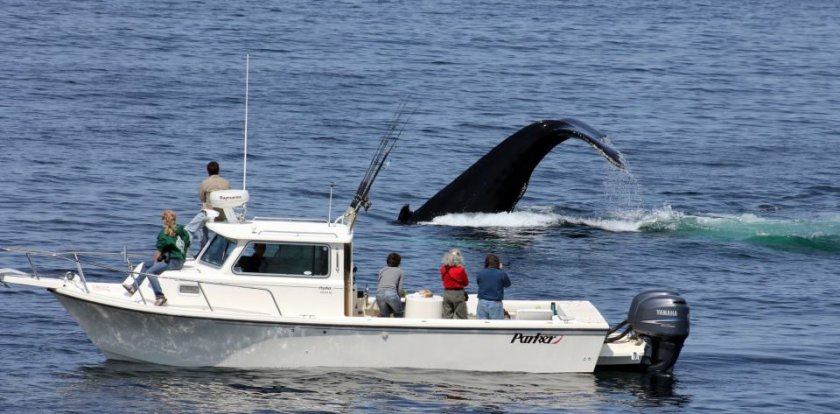 Whale Watching in Provincetown