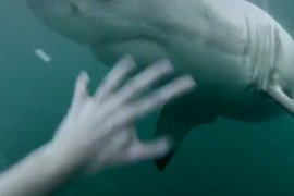 Man Fends Off Great White Shark In Sydney Harbour