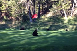 Cute Baby Bear Gives Show at Golf Course