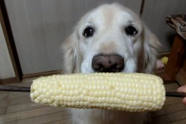 Cute Dog Shows Us How to Eat Corn on the Cob