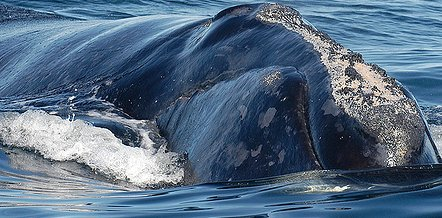 Whale Watching in Campobello Island