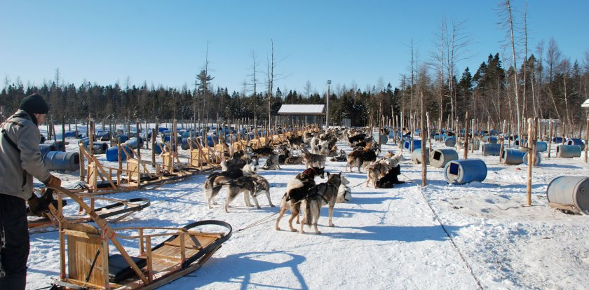 Dog Sledding in Levis